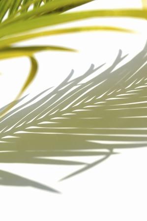 cycad: Leaf of cycad