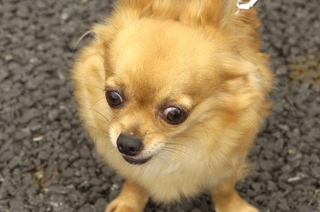 living organisms: Chihuahua