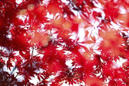 crimson colour: Red colored maple