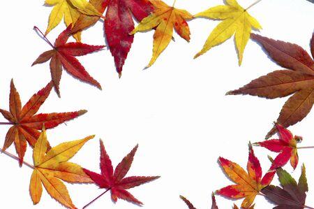 Yellow and red maple leaf Zdjęcie Seryjne