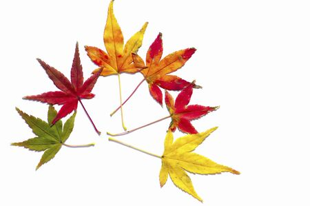 crimson colour: Yellow and red maple leaf Stock Photo