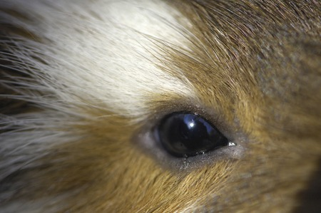 living organism: Eye of guinea pig Stock Photo