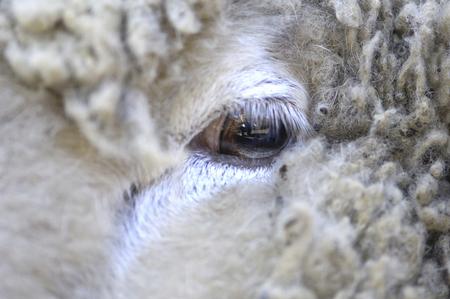 living organisms: Sheeps eyes Stock Photo