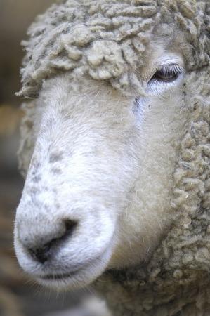 face to face: Sheep face