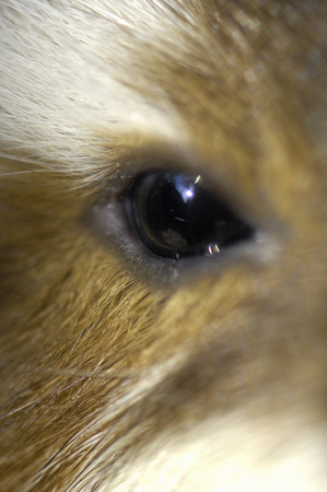 living thing: Eye of guinea pig Stock Photo