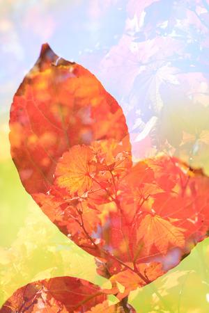 feuillage: Stewartia foliage
