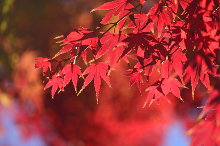 palmatum: Acer palmatum