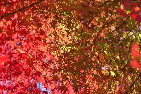 crimson colour: Acer palmatum