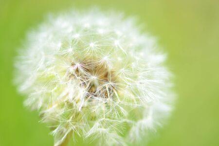 fluff: Dandelion fluff Foto de archivo
