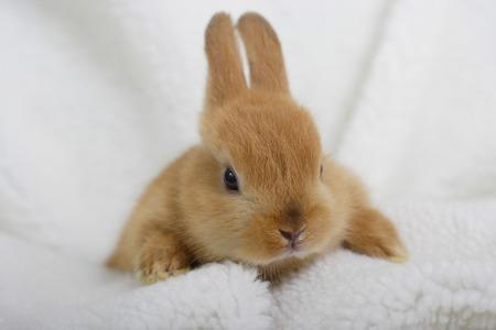 mammalian: Rabbit