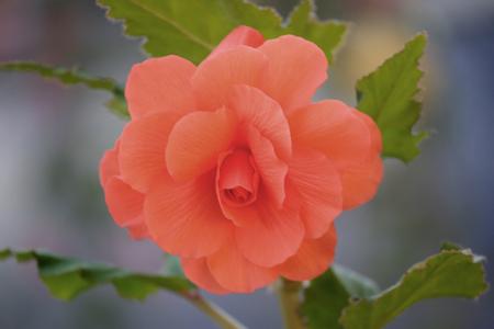 begonia: Bulb Begonia