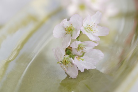 flowering: Early flowering cherry Stock Photo