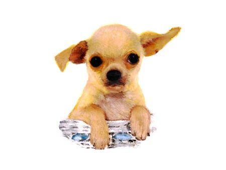 living organism: Chihuahua