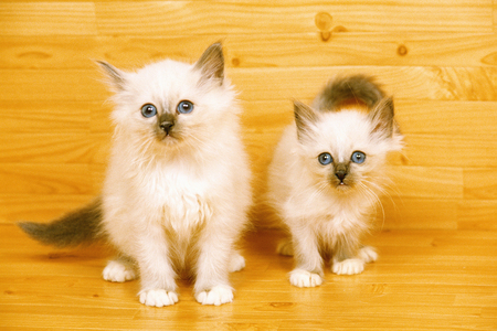 himalayan cat: Kitten