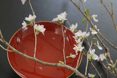 early blossoms: Early flowering cherry blossoms in spring