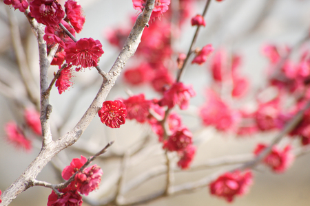 plum grove: Red plum flower Stock Photo