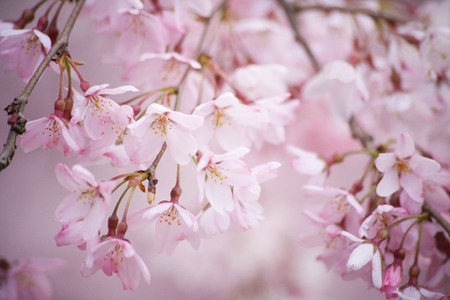 Weeping cherry tree photo