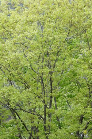 grandeur: Fresh green leaves of castanopsis trees