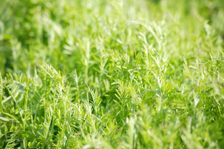 radiancy: Field horsetail Stock Photo