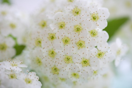 rin: Spiraea cantoniensis Lour.