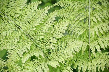shrubbery: Fern