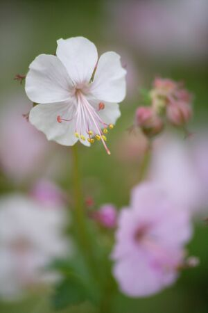 geranium: Geranium Stock Photo