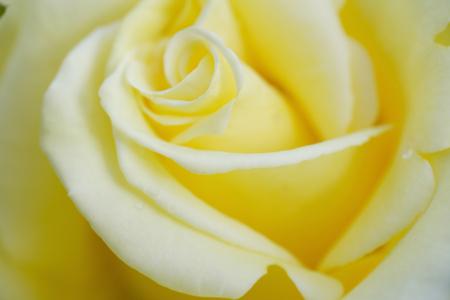 yellow: Yellow roses Stock Photo