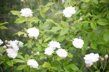 summergarden: Rose