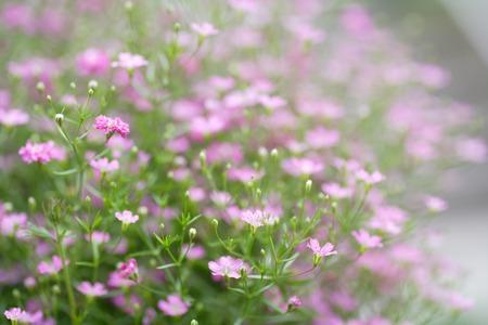 shrubbery: Gypsophila