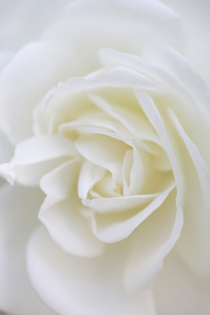 White Rose Banque d'images - 49381406