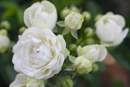 witte roos Stockfoto