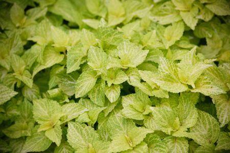 bushy plant: Coleus