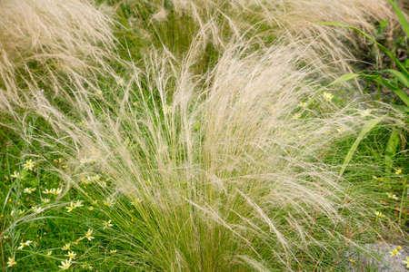 bushy plant: Feather grass Stock Photo