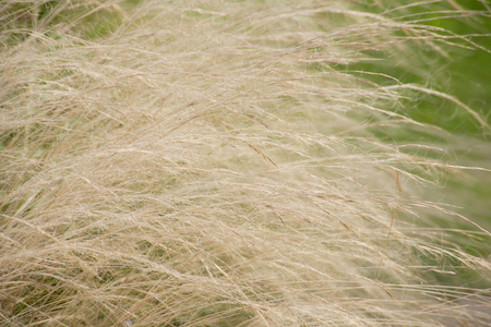 waver: Feather grass Stock Photo