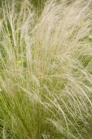 wavering: Feather grass Stock Photo