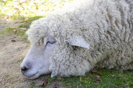 mammalian: Sheep