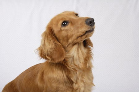 living organisms: Miniature Dachshund