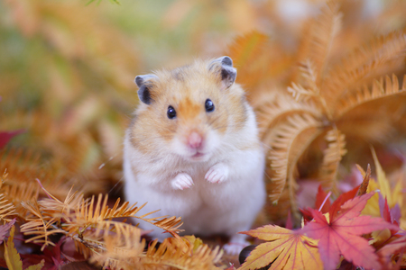 Hamster fall 版權商用圖片