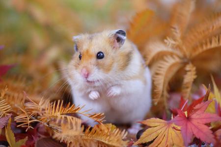Hamster caduta