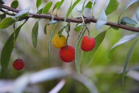 strawberry tree: Strawberry tree