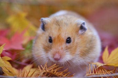 mammalia: Hamster fall Stock Photo