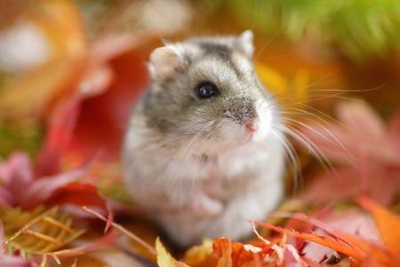 Hamster fall Stock Photo