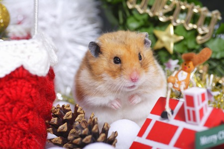 living organisms: Hamsters Christmas