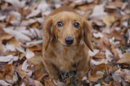 dead dog: Miniature Dachshund