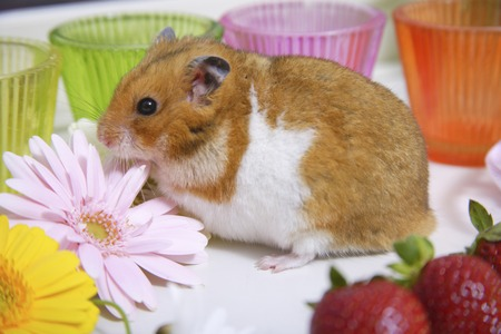 living organisms: Hamster with a strawberry