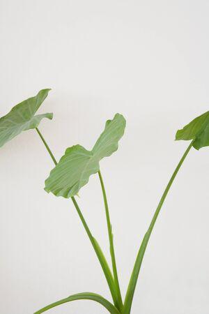 yeşillik: Foliage plants