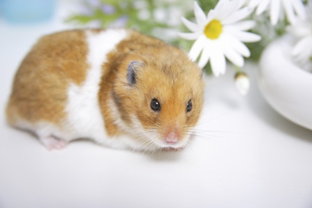 Hamster and flowers Stock Photo