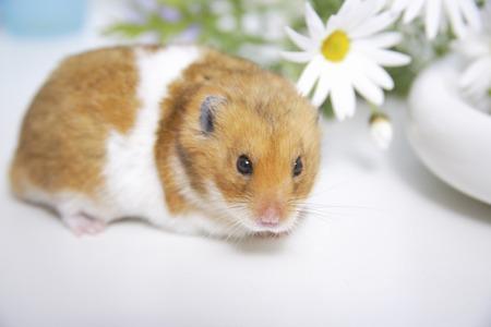 mammalian: Hamster and flowers Stock Photo