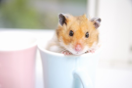 Mug in hamster Stock Photo - 46885131