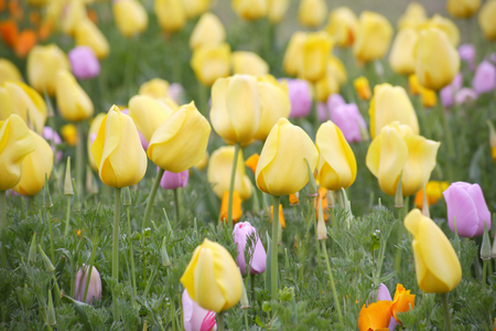 Yellow tulips in full bloom photo